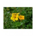 Potentilla fruticosa 'Hopleys Orange' -potentilles, comarums,