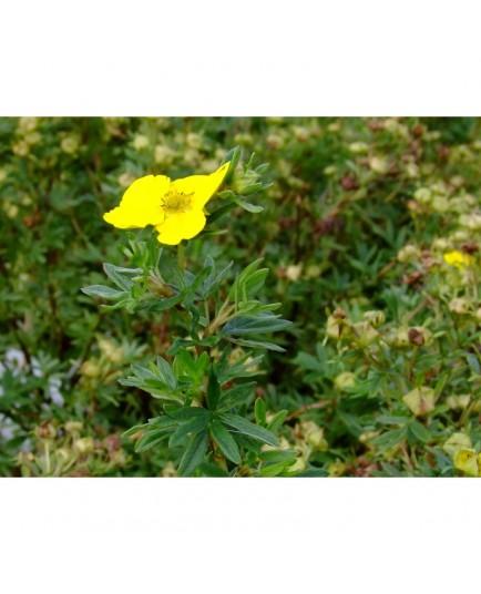 Potentilla fruticosa 'Klondike' - potentille
