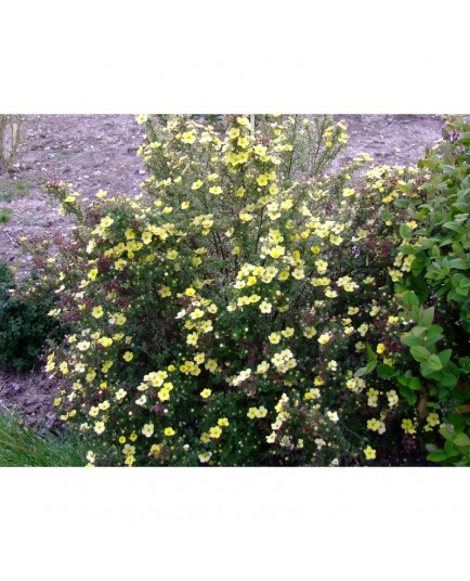 Potentilla fruticosa 'Maanelys' (Moonlight)- potentille arbustive
