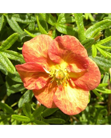 Potentilla fruticosa 'Marian Red Robin'® (Marrob) - potentilles, comarums,