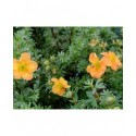 Potentilla fruticosa 'Marian Red Robin'® (Marrob) - potentilles, comarums,