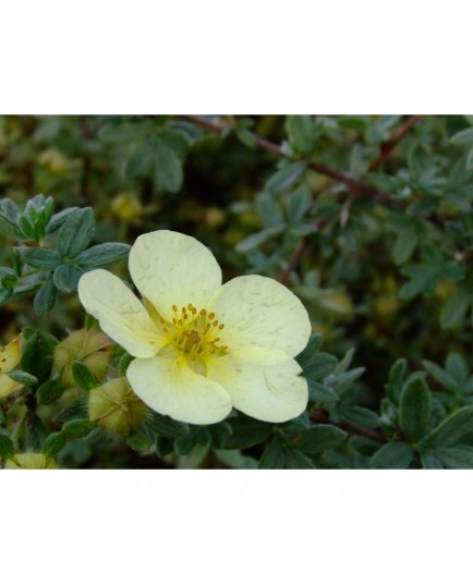 Potentilla fruticosa 'Primrose Beauty' - potentilles
