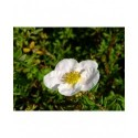 Potentilla fruticosa 'Princess'® (Queen Blink)- potentilles arbustes