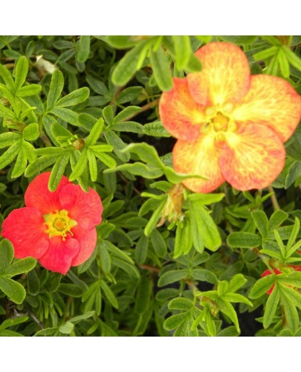 Potentilla fruticosa 'Red Ace' - potentilles, comarums,