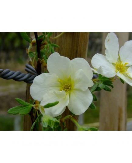 Potentilla fruticosa 'Snowbird' - potentille