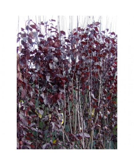 Prunus cerasifera 'Nigra' -Myrobolan ,Prunus