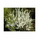 Prunus glandulosa 'Alboplena' - cerisier, amandier nain