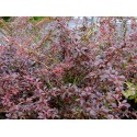 Berberis thunbergii 'Orange Dream'® - Epine vinette