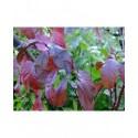 Prunus hillieri x 'Spire'
