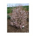 Prunus incisa 'Kojo-No-Mai' - cerisier