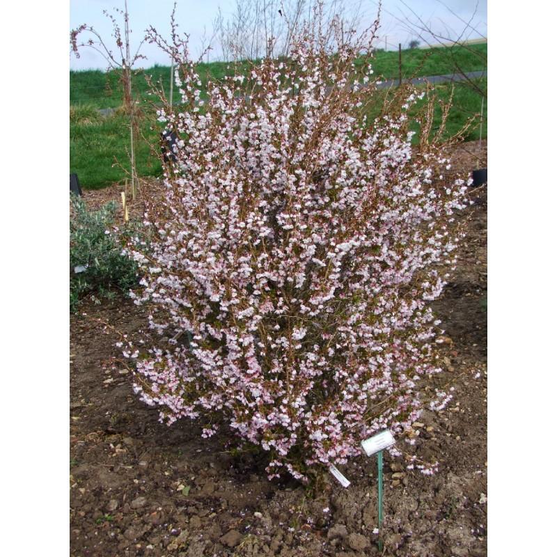 Prunus incisa kojo no mai cerisier - Comment planter un cerisier ...