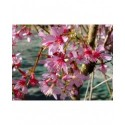 Prunus incisa 'Paean' - cerisier fleurs