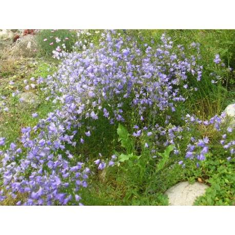 Campanula rotundifolia - Campanule