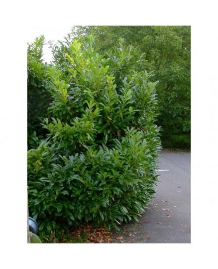 Prunus laurocerasus 'Caucasica' - Laurier-cerise