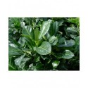 Prunus laurocerasus 'Etna'® - laurier