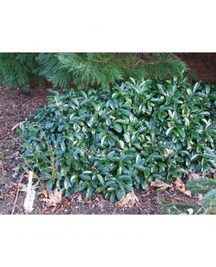 Prunus laurocerasus 'Mount Vernon' - Laurier-cerise