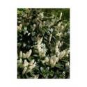 Prunus laurocerasus 'Van Ness' - Laurier-cerise