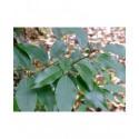 Prunus lusitanica 'Angustifolia' - Laurier du Portugal