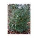 Prunus lusitanica - Laurier du Portugal