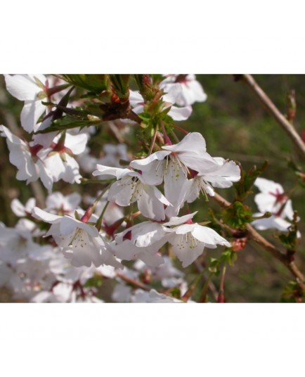Prunus nipponica 'Brillant' - cerisier du Japon