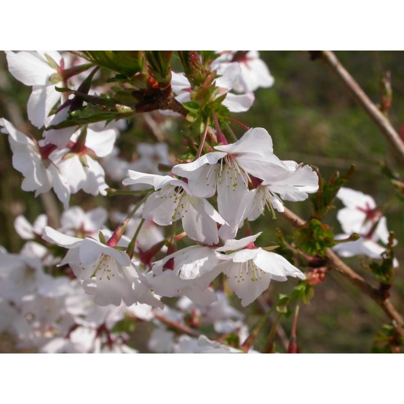 prunus nipponica brillant cerisier. Black Bedroom Furniture Sets. Home Design Ideas