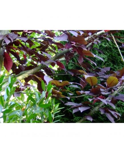 Prunus padus 'Colorata' - Bouquet de mai, Bois puant, merisier à grappes