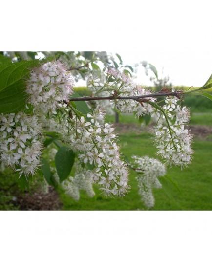 Prunus padus 'Le Thoureil' - Bouquet de mai, merisier à grappes, bois puant
