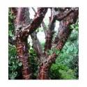 Prunus serrula -cerisiers à bois acajou, pruniers du Tibet,