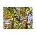 Prunus spinosa -Prunellier, épine noire