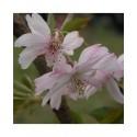Prunus subhirtella 'Autumnalis Rosea' - cerisiers à fleurs d'automne,