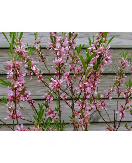 Prunus tenella 'Fire Hill' - Amandier nain de Géorgie