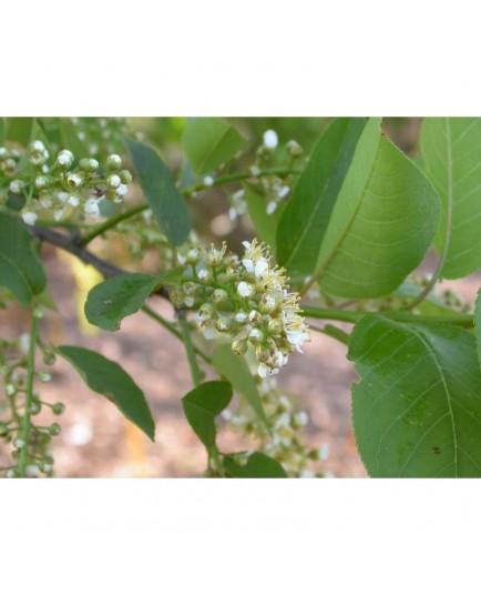 Prunus virginiana 'Schubert' - cerisier à fleurs