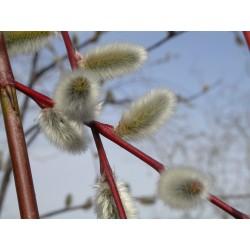 Salix acutifolia 'Blue Streak' - Saule de la Caspienne