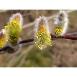 Salix acutifolia 'Pendulifolia' - Saule de la Caspienne