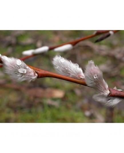 Salix acutifolia - Saule de la Caspienne