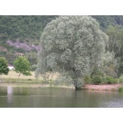 Salix alba 'Argentea' - Saule blanc argenté, saule blanc royal