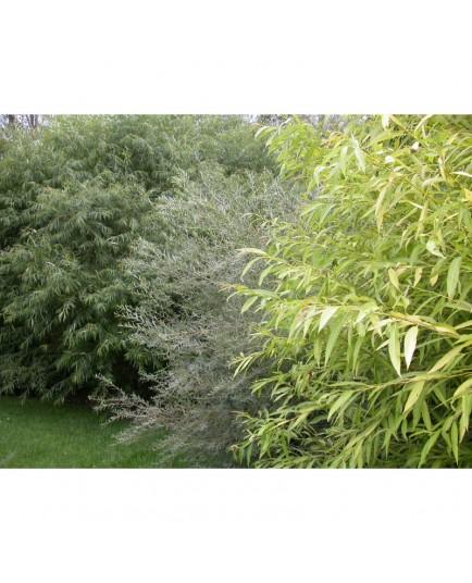 Salix alba 'Aurea' - Saule blanc doré