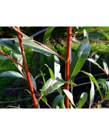 Salix alba 'Britzensis' -Saule à bois coloré