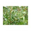 Salix alba 'Dart's snake' - Salicaceae - Saule tortueux