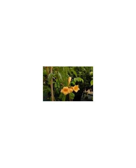 Campsis radicans 'Flava' - Jasmin de Virginie