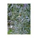 Salix alba 'Drakensburg' - Saule