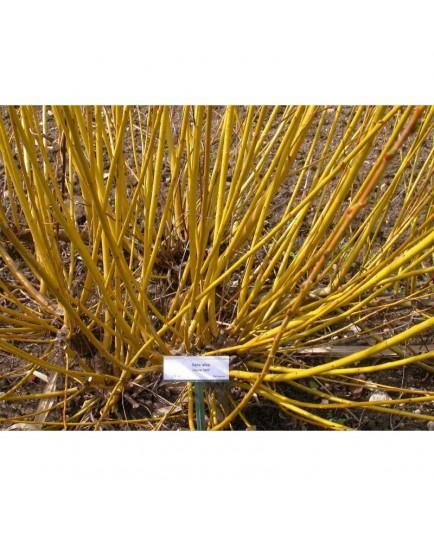 Salix alba 'Jaune Hâtif' - Saule blanc à bois jaune