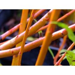 Salix alba 'Nova' - Saule blanc