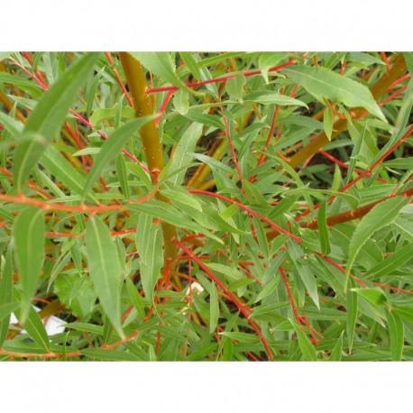 Salix alba 'Rouge Ardennais' - saule blanc