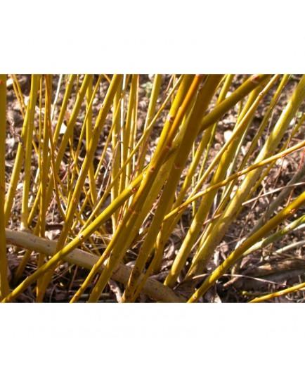 Salix alba var. caerulea -Saule