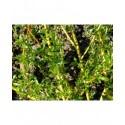 Salix alba var. vitellina - Saule