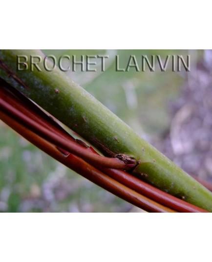 Salix arbutifolia - Saule à feuille d'arbousier