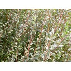 Salix arenaria - Saule des dunes