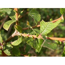 Salix aurita - Saule à oreillettes