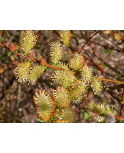 Salix aurita x repens x rosmarinifolia